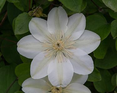White Clymatis 2