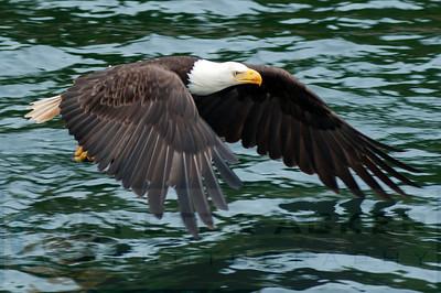 Bald_Eagles_019