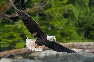 Bald_Eagles_003