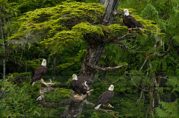 Bald_Eagles_001