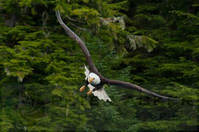 Bald_Eagles_017