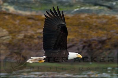 Bald_Eagles_021