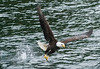 Bald_Eagles_010