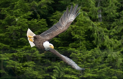 Bald_Eagles_009
