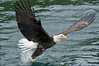 Bald_Eagles_011