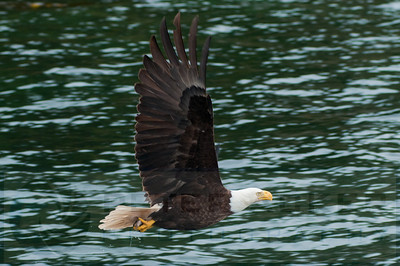 Bald_Eagles_022