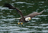 Bald_Eagles_012