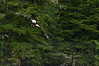 Bald_Eagles_008
