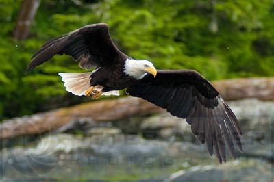 Bald_Eagles_018