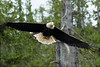 Bald_Eagles_007