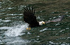 Bald_Eagles_005
