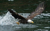 Bald_Eagles_006
