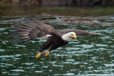 Bald_Eagles_024