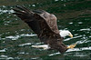 Bald_Eagles_004
