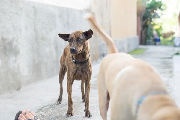 Bali Dogs Krbn