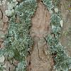 Bergahorn, Rinde mit Flechten, (Acer pseudoplatanus), Schwäbische Alb, Baden-Württemberg, Deutschland