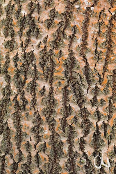 Rinde, Pappel, Populus spec., bark, Hirschau, Deutschland, Germany