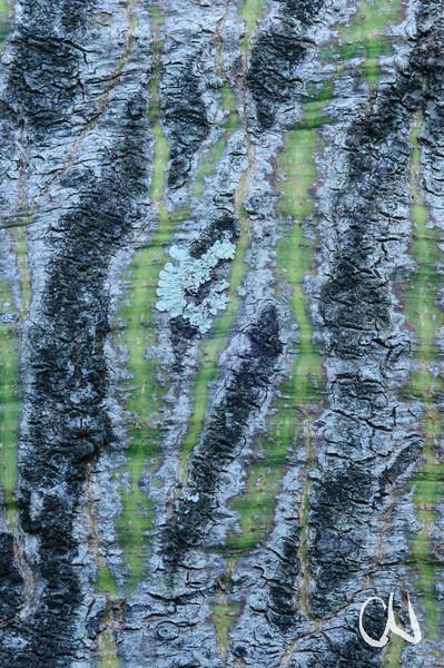 Ceiba pentandra, Kapok, Rinde, Baum, Durban Botanical Gardens, Südafrika, South Africa