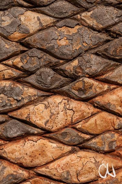 Wood's Cycad, Encephalartos woodii, Cycadee, Rinde, Baum, one of the rarest plants in the world, eine der seltensten Pflanzen der Welt, Durban Botanical Gardens, Südafrika, South Africa