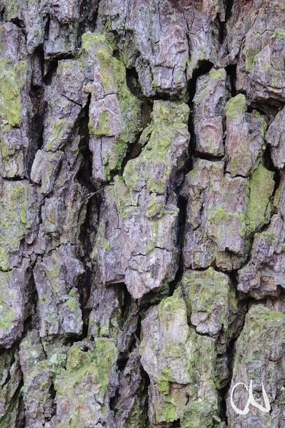 Rinde, Birnbaum, Pyrus spec., Streuobstwiese, Tübingen, Deutschland, pear tree, bark, fruit orchard, Germany