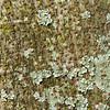 Colvillea racemosa, Colville´s Glory, Heimat: Mauritius und Madagaskar, Rinde, Baum, Durban Botanical Gardens, Südafrika, South Africa