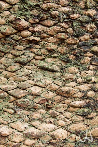 Rinde, Modjadji Cycad Nature Reserve, Limpopo, Südafrika, South Africa