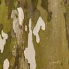 Caesalpinia ferrea, Leopard Tree, Heimat: Brasilien, Rinde, Baum, Durban Botanical Gardens, Südafrika, South Africa