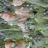 Kauri Pine, Kauri-Kiefer, Agathis australis, Heimat: Australien, Rinde, Baum, Durban Botanical Gardens, Südafrika, South Africa