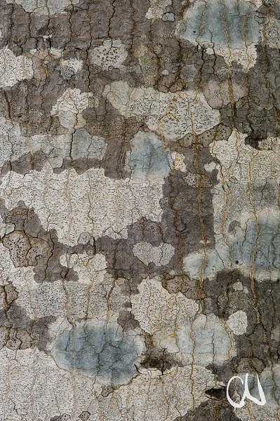 Forest Fever Tree, Anthocleista grandiflora, Rinde, Krüger Nationalpark, Kruger National Park, Südafrika, South Africa