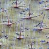 Dornen der Madagaskarpalme, (Pachypodium geayi), Pretoria Botanischer Garten, Südafrika, [en] spines of a Madagascar succulent plant, National Botanical Garden, Pretoria, South Africa