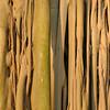 Feige, Ficus benghalensis, Heimat: Indien, Ficus, Rinde, Baum, Durban Botanical Gardens, Südafrika, South Africa
