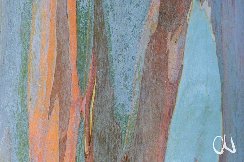 Eucalyptus sp., bark, Detail Eukalyptus-Rinde, bei Kap-River Nature Reserve, Eastern Cape, Südafrika, South Africa, Nature View Farm, Eastern Cape, Südafrika, South Africa