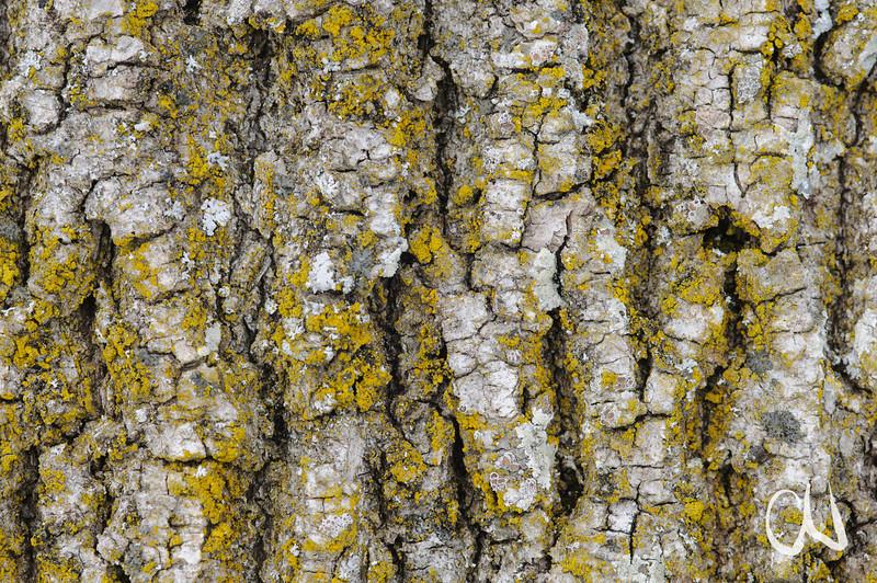 Gemeine Esche, Fraxinus excelsior, Rinde, bark, Rietheim, Schwäbische Alp, Deutschland