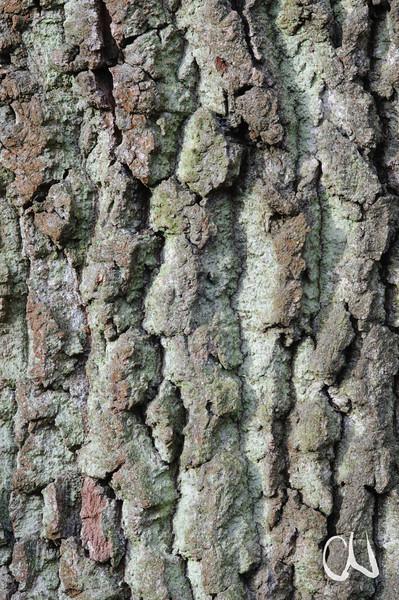 Rinde, Stieleiche, Quercus robur, Tübingen, Deutschland, oak tree, bark, Germany