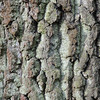 Rinde, Stieleiche, Quercus robur, Tübingen, Deutschland, oak tree, bark, Germany