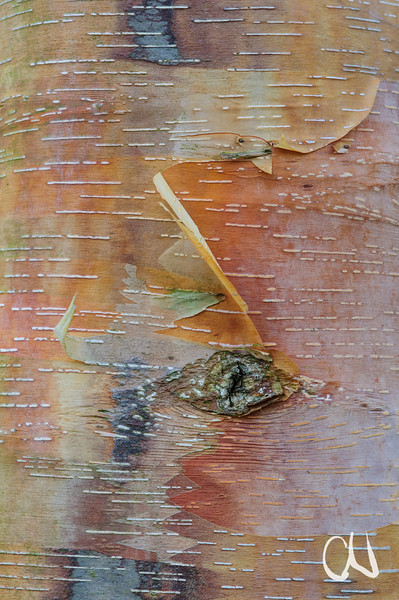 Birkenrinde, birch bark, Betula spec., Münsingen, Deutschland, Germany
