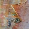 Birkenrinde, birch bark, Betula spec., Münsingen, Deutschland, Germany