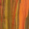 Eucalyptus deglupta, Heimat: Neu-Guinea, Rinde, Baum, Durban Botanical Gardens, Südafrika, South Africa
