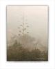 Century Plant in Fog WC