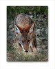 Wile E Coyote 8x10