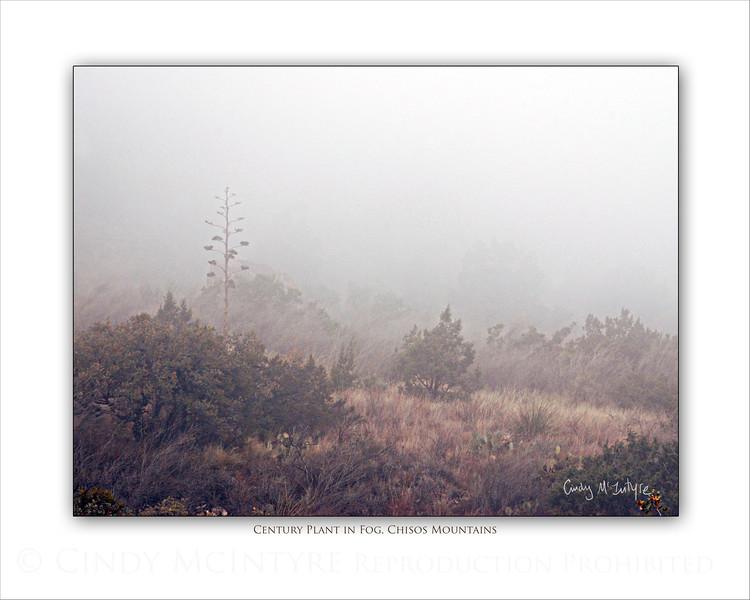 Century Plant in Fog Grainy