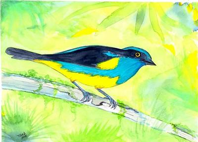 Yellow-tufted Dacnis- Ecuador, 8.5x6, watercolor, nov 10, 2015