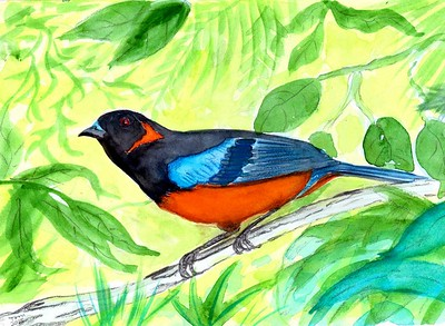 Scarlet-bellied Mountain-Tanager - Peru, 8.5x6, watercolor, nov 9, 2015.