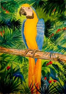 1-Blue and Gold Macaw, Brazil. 11x15, watercolor, dec 3, 2015.