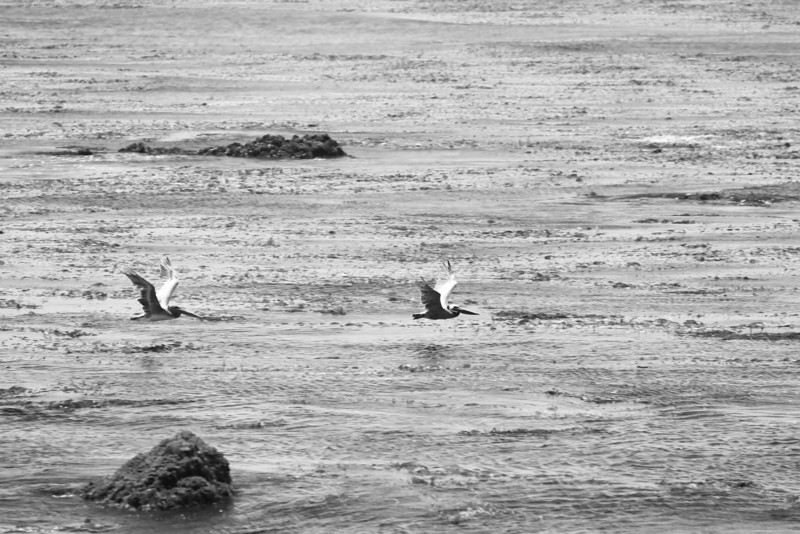 Pelicans over the Pacific<br /> Near Hearst Castle, CA<br /> Canon 5dMkII 70-200F2.8L