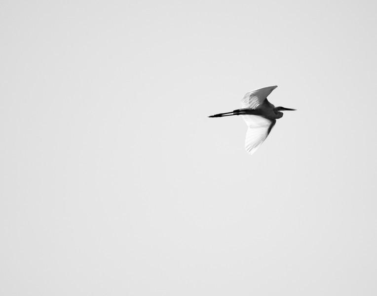 Egret in flight<br /> Spring, TX<br /> Canon 40D 70-200F2.8L