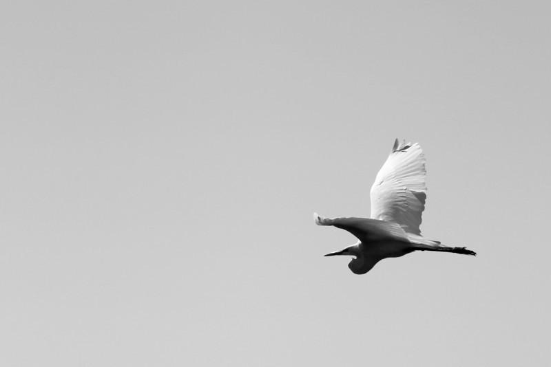 Egret in flight<br /> Diamond Valley Lake, CA<br /> Canon 5dMkII 70-200F2.8L