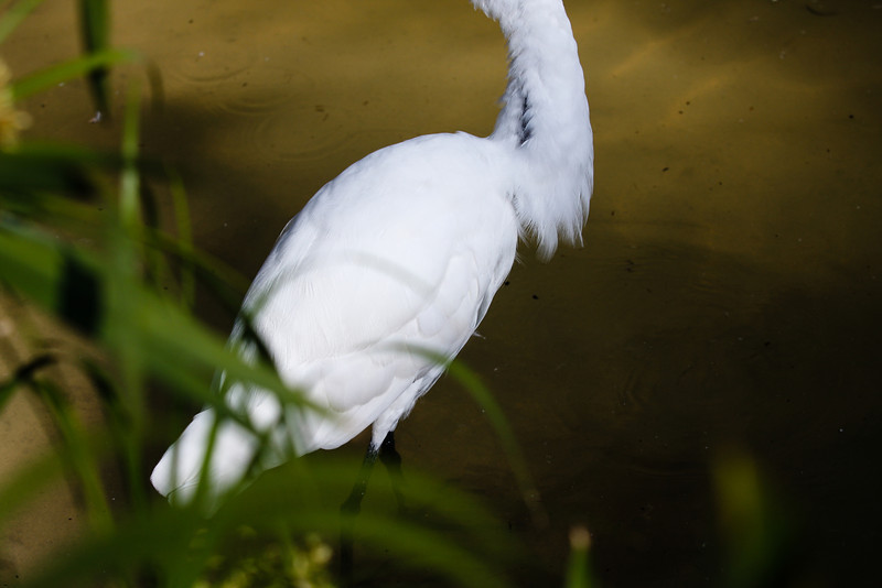 Egret in detail<br /> San Diego Zoo<br /> Canon 40D 70-200F2.8L