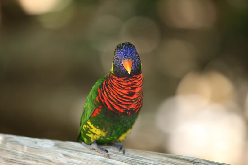 Rainbow Lorikeet<br /> San Diego Zoo Safari Park<br /> Canon 5dMkII 70-200F2.8L