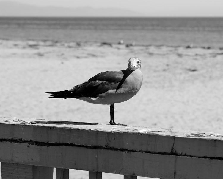 Seagull<br /> Santa Barbara, CA<br /> Canon 40D 24-70 F2.8L